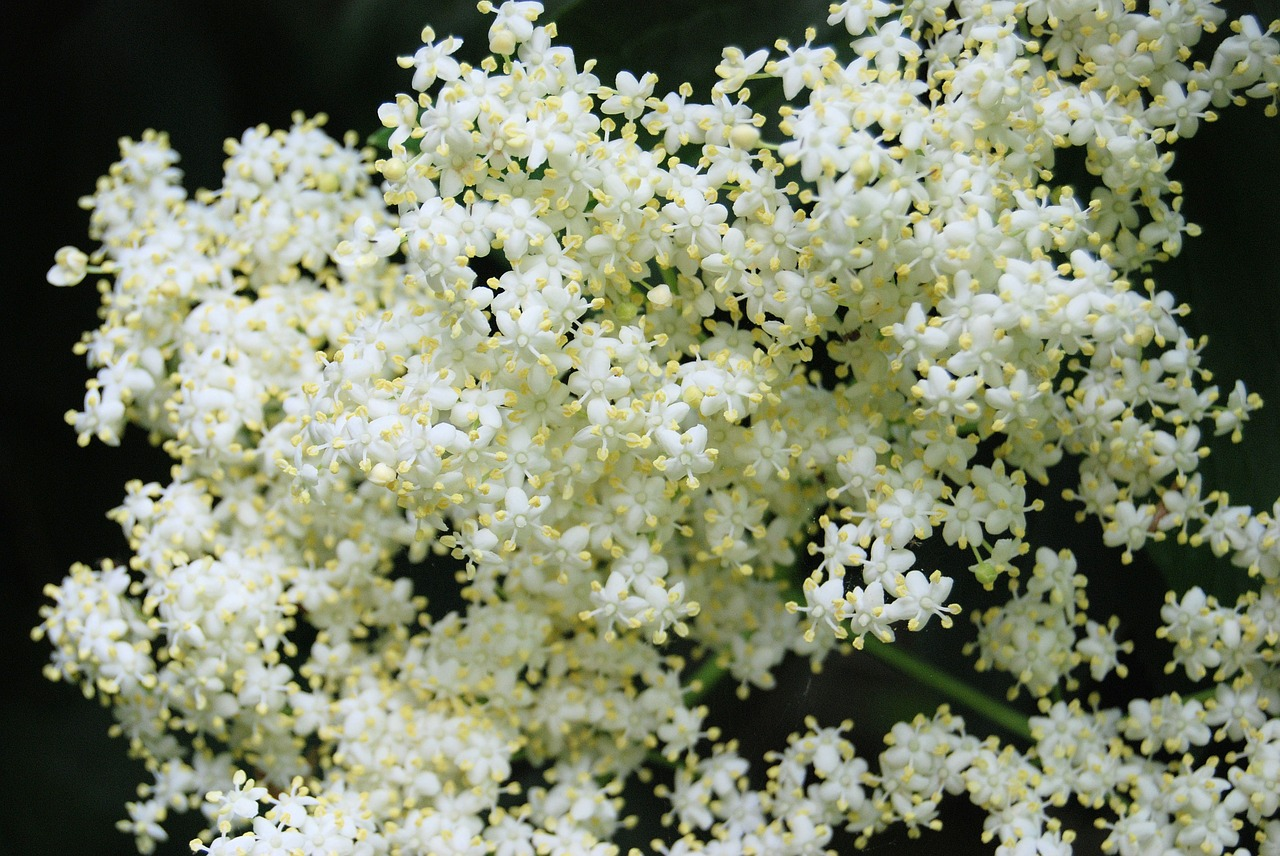 growing elderberries, elderflowers, elderberries