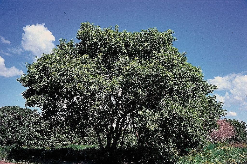 1024px-Acer_negundo_tree