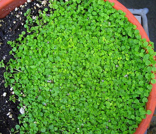 Corsican Mint makes a lovely groundcover.