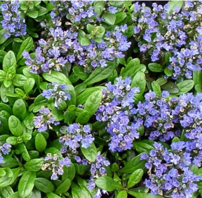 Ajuga mint ground cover, good for partial sun and shady areas.