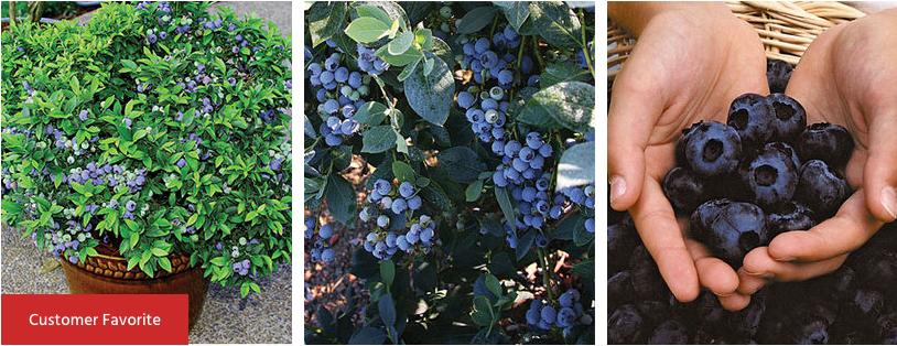 Burpee Blueberries