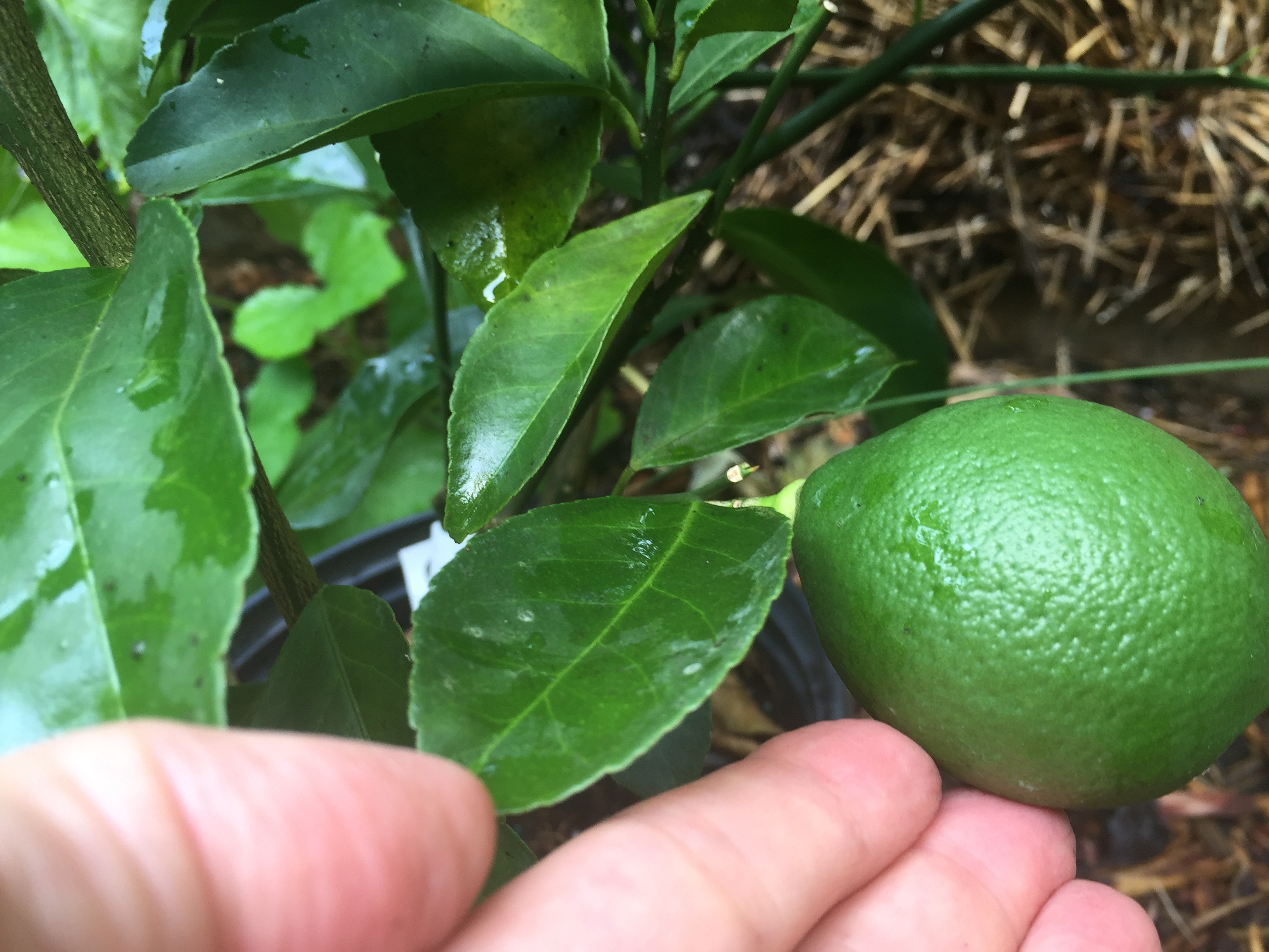 GardensAll.com Meyer's Dwarf Lemon Tree - First lemon!