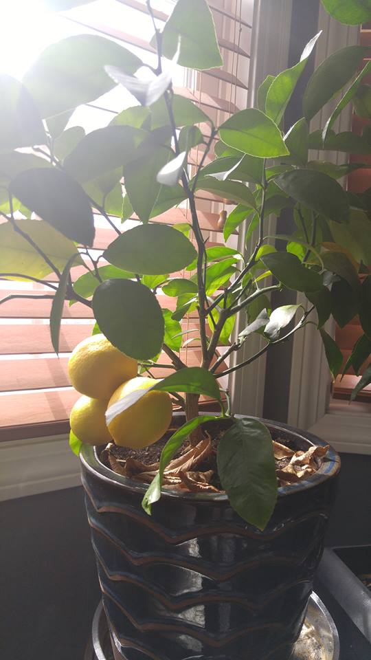Jason Wilkins' Meyer Lemon Tree