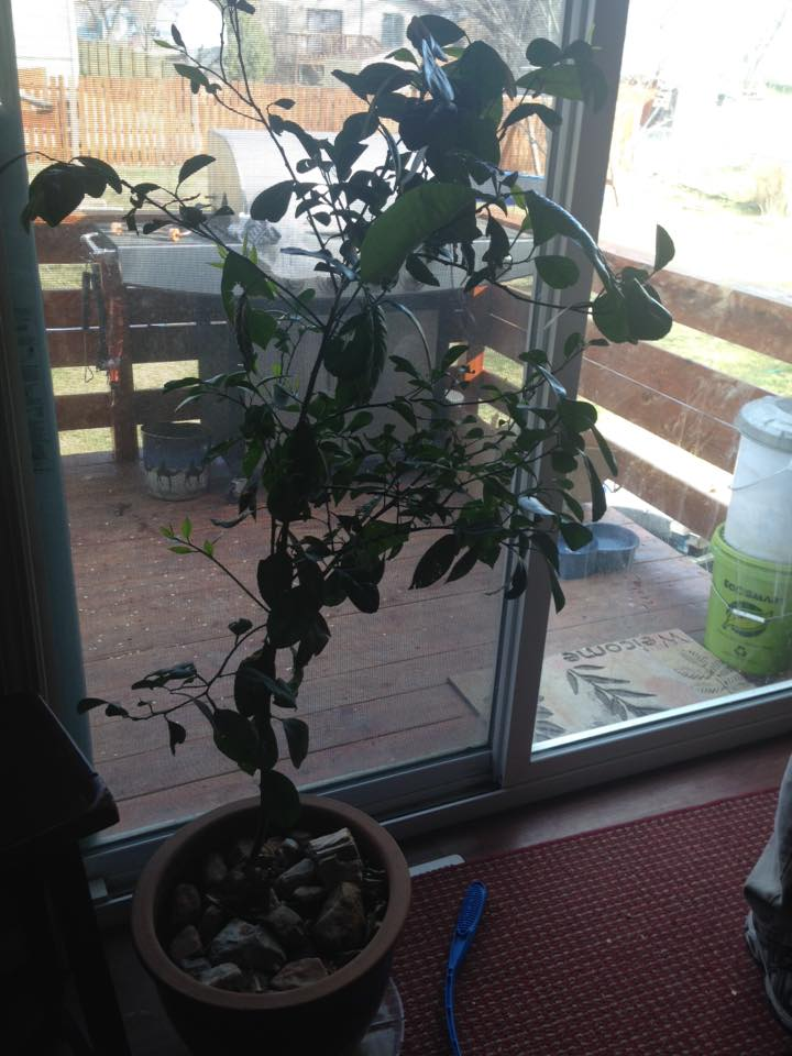 Jan's dwarf orange tree