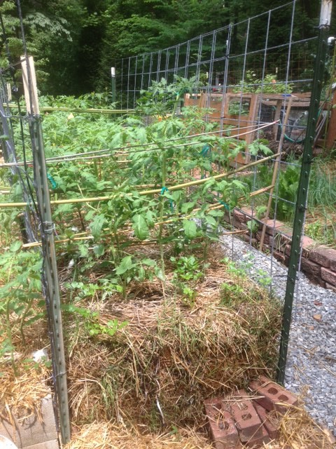 Parallel cattle panel grids for tomato cage supported with bamboo crossbars. #DIYtomatoSupport #TomatoSupport #SupportTomatoes #GrowingTomatoes #WireTrellis #HomemadeTomatoTrellis #CattlePanelSupport #GridFenceTomatoSupport