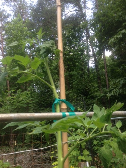 Bamboo tomato trellis tied with plant tape. #DIYtomatoSupport #TomatoSupport #SupportTomatoes #GrowingTomatoes #WireTrellis #HomemadeTomatoTrellis #BambooTomatoTrellis #BambooTrellis